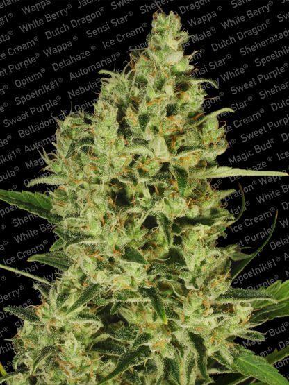 DelaHaze_Paradiseseeds_marihuana.jpg