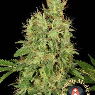 CBD wietplant