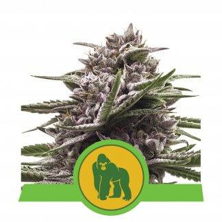 Royal Gorilla Autoflowering